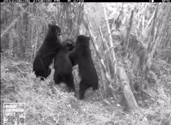 Featured video: bears work together to take down camera traps