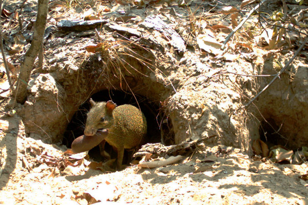 Agouti feeding in the burrow. Photo by: The Pantanal Giant Armadillo Project.