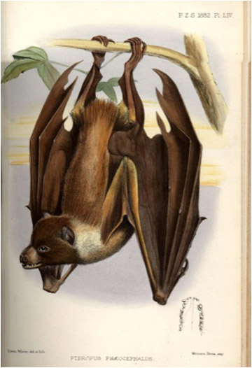 Painting of Pteropus pelagicus (notice the name change).