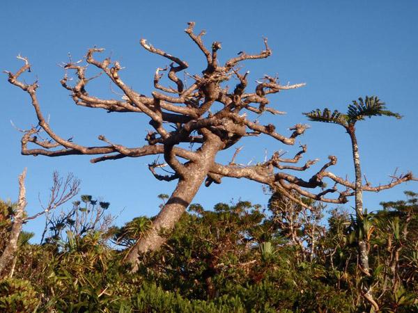El árbol Kauri ( Agathis montana) encontrado solamente en el Monte Panié. Foto hecha por: ©Conservación Internacional/ foto hecha por François Tron.