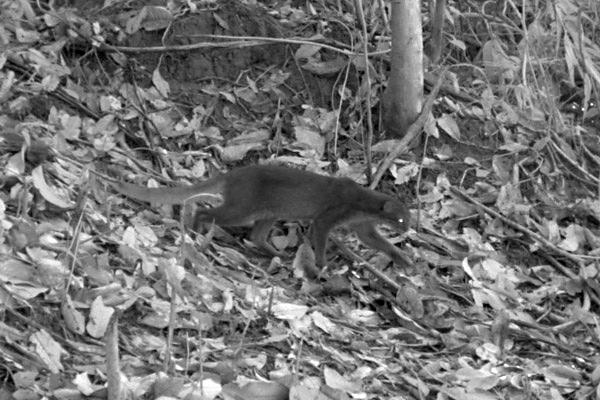 Gato de la bahía capturado con una cámara camuflada en una explotación forestal en Sabah. Fotografía de: Oliver Wearn/Proyecto SAFE.