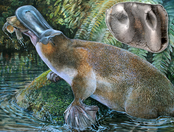 This image shows Obdurodon tharalkooschild, a middle to late Cenozoic giant toothed platypus from the the World Heritage fossil deposits of Riversleigh, Australia. At about one meter (more than 3 feet) in length and with powerful teeth (inset: the holotype, a first lower molar), it would have been capable of killing much larger prey, such as lungfish and even small turtles, than its much smaller living relative. Illustration by: Peter Schouten.