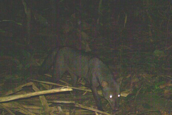 El increíblemente inhabitual zorro de oreja corta. Fotografía cortesía de la Estación de Biodiversidad Tiputini.