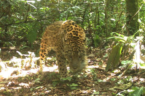 Jaguar à l'affût. Photo utilisée avec la permission de la station de biodiversité Tiputini.