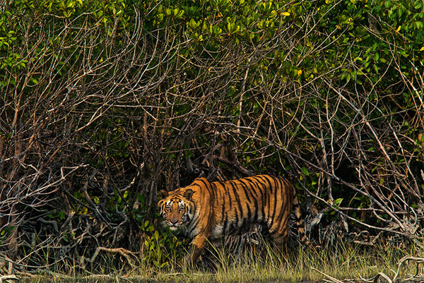 >Bengal tiger in the Sundarbans mangrove forest. Photo by: Steve Winter/National Geographic and Panthera.