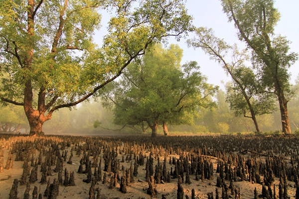 Mangroves in the Sundarbans. Photo by: Pranabesh Das.