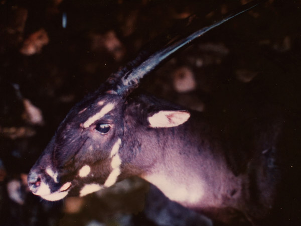 A female saola that was brought into a Laos village in 1996, nicknamed Martha. She died within a few days. Photo by:  © William Robichaud.