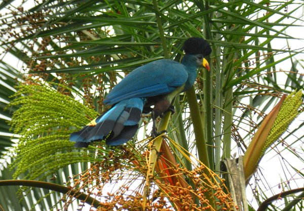 A great blue turaco (Corythaeola cristata) in Kibale. Photo by: Eric Losh.