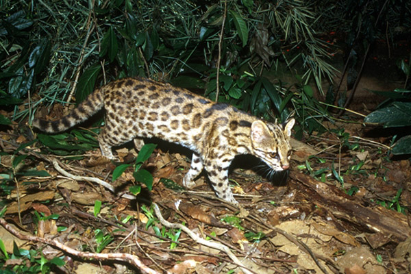 Scientists discover new cat species roaming Brazil