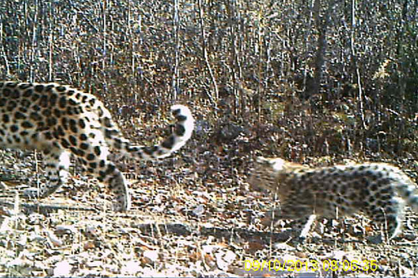 Amur leopard cub following mom in China. Photo by: Forestry Bureau of Jilin Province.