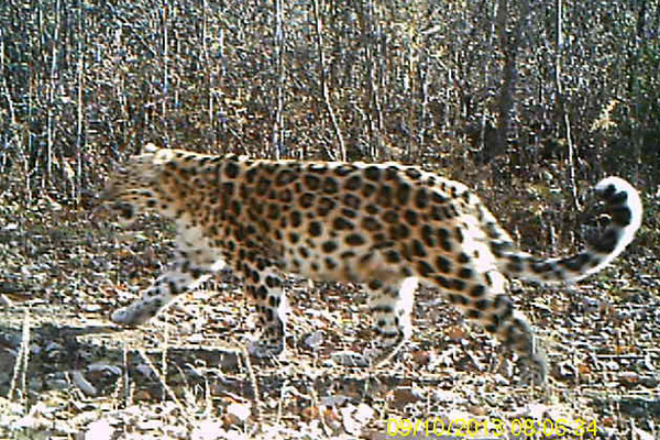 Mother Amur leopard in China. Photo by: Forestry Bureau of Jilin Province.