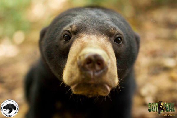 Sun bear at BSBCC. Photo by: Jocelyn Stokes.