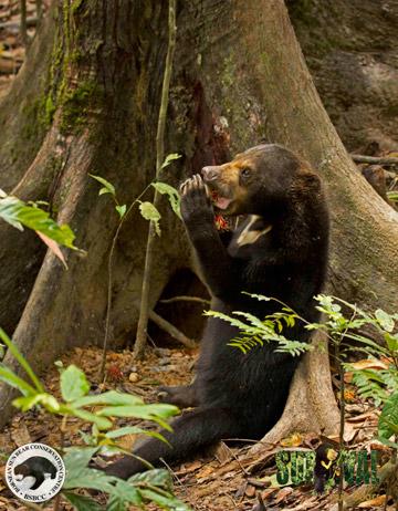 Sun bear eating at BSBCC. Photo by: Jocelyn Stokes.