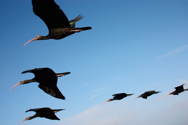 Migrating northern bald ibis. Photo by: Waldrappteam.
