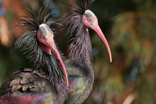 Northern bald ibis. Photo by: Waldrappteam.