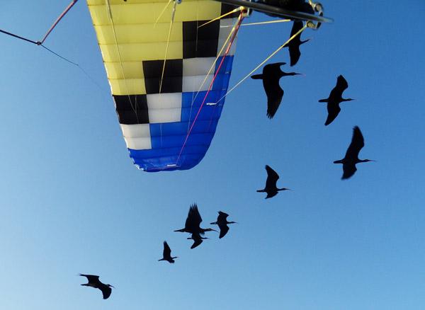 Gli Ibis eremita durante la migrazione europea Foto: Waldrappteam.
