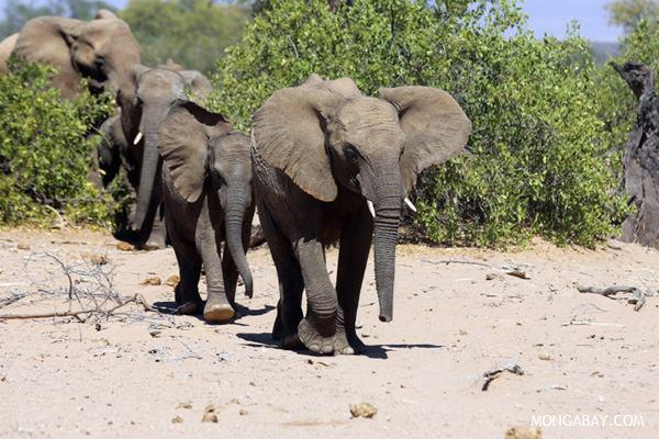 Rebaño de elefantes en Namibia. Fotografía de: Rhett A. Butler.