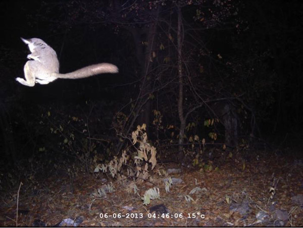 A leaping greater galago received a 'commended' in the Animal Behavior. Photo by: Nobesuthu Ngwenya/African Wildlife Conservation Fund, Zimbabwe.