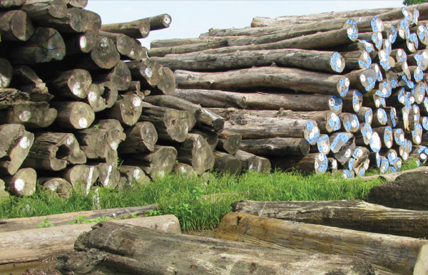Logs in Myanmar. Most of the wood exported out of Myanmar is in the form of unprocessed logs, costing the country considerable economic gain. A ban on exporting raw logs is set to go into effect in April 2014. Photo courtesy of Timber Trade Flows and Actors in Myanmar: The Political Economy of Myanmar's Timber Trade.