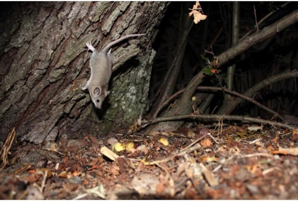 This photo of Roach's mouse-tailed dormouse has won the 2013 BBC Wildlife Camera-Trap Photo of the Year award. Photo by: Halim Yalçın Diker/Yer Yediuyuru Yok Olmasın, Turkey.