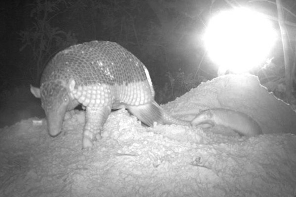 The world's first ever image of a baby giant armadillo took Runner Up in the new discoveries category. Photo by: by Arnaud Desbiez/Pantanal Giant Armadillo Project, Brazil.