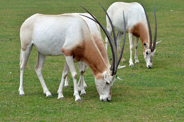 Scimitar-horned oryx in Marwell Zoo in the UK. Photo by: The Land