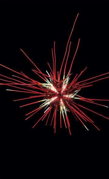 Le test sphérique et les impressionnantes épines d'un oursin de mer : coelopleurus floridanus. Les épines mobiles protègent des prédateurs. Comme cette espèce vit dans des eaux assez profondes, la raison de ses pigments de peau de couleurs vives et du squelette sous-jacent est inconnue. Photo : Arthur Anker.