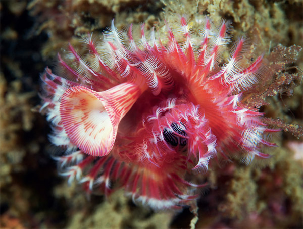 Many tube-dwelling polychaetes have elaborate, colourful tentacles for filter feeding and gas exchange. The funnel-shaped structure (operculum) seals the tube when the animal retreats inside (unidentified serpulid). Photo: Alexander Semenov.