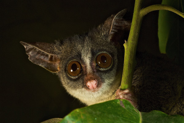 A galago from the Udzungwa Mountains in Tanzania. Photo by: Michele Menegon.