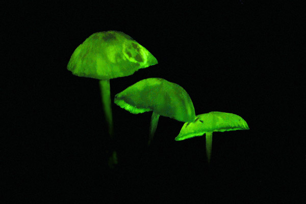 Glowing mushrooms in the forest on Mount Kanga in Tanzania. Photo by: Michele Menegon.