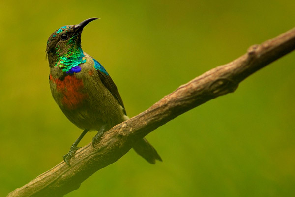 The Albertine Rift endemic Ruwenzori double-collared sunbird (Cinnyris stuhlmanni). Photo by: Michele Menegon.