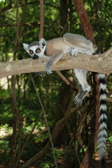 Ring-tailed lemur hanging out in a tree