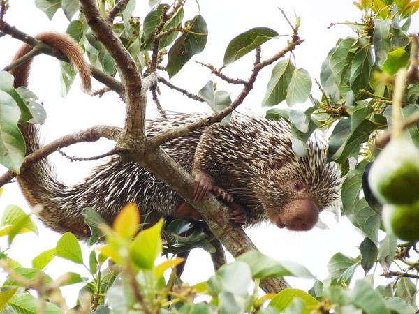 Observe a cauda preênsil no porco-espinho-de-Baturité. Foto: Hugo Fernandes-Ferreira.