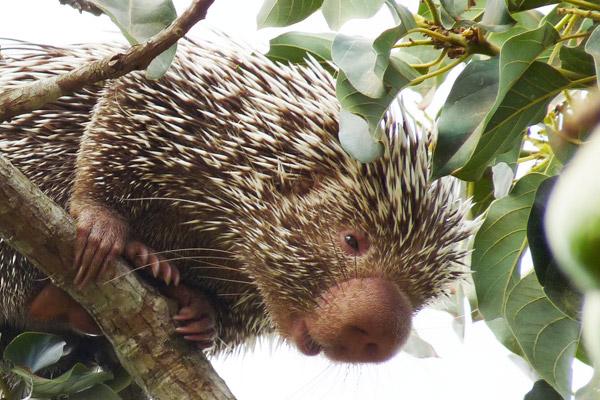 Imagem de perto da nova espécie de porco-espinho, o porco-espinho-de-Baturité: Coendou baturitensis. Foto: Hugo Fernandes-Ferreira.