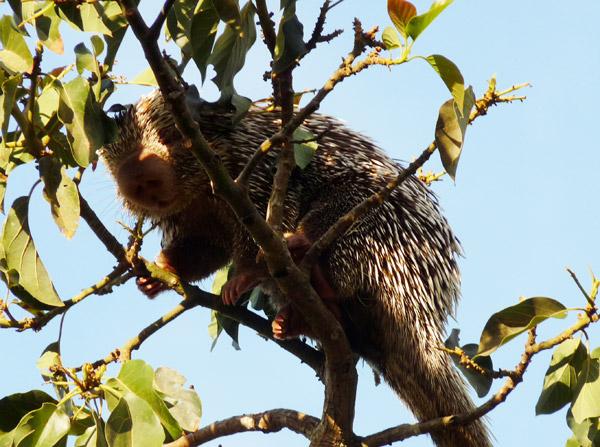 O porco-espinho-de-Baturitá vive em árvores. Foto: Hugo Fernandes-Ferreira.