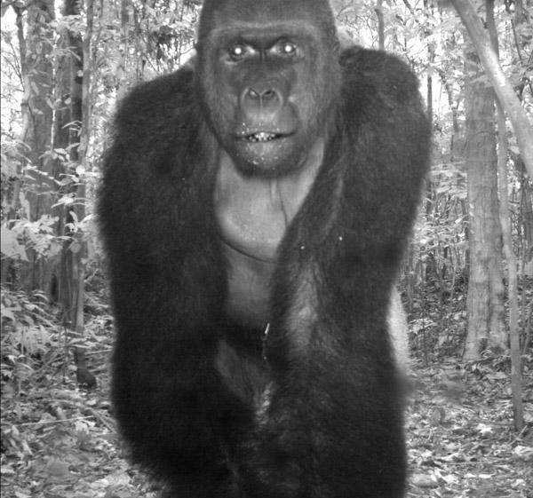 Gorilla occidentale del Parco Nazionale Nouabalé-Ndoke nella Repubblica del Congo. Fotografia gentilmente concessa da TEAM/Conservation International.