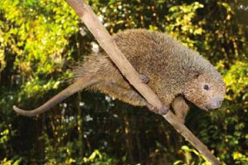 Thin-spined porcupine. Photo by: Photo by: Gaston Giné/Castilho et al.