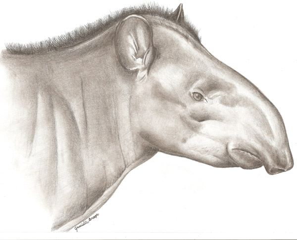 Painting of the new tapir species. Painting courtesy of Fabrício R. Santos.