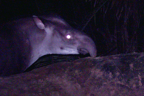 The new tapir has a distinct head shape. Photo courtesy of Fabrício R. Santos.