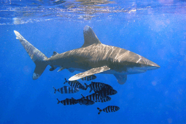The Oceanic whitetip shark was one of several species to gain protection under CITEs. The species has been decimated by shark-finning. Photo by:  Thomas Ehrensperger.