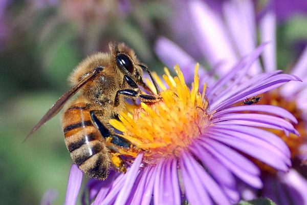 European honey bee. Photo by: John Severns/Public Domain.