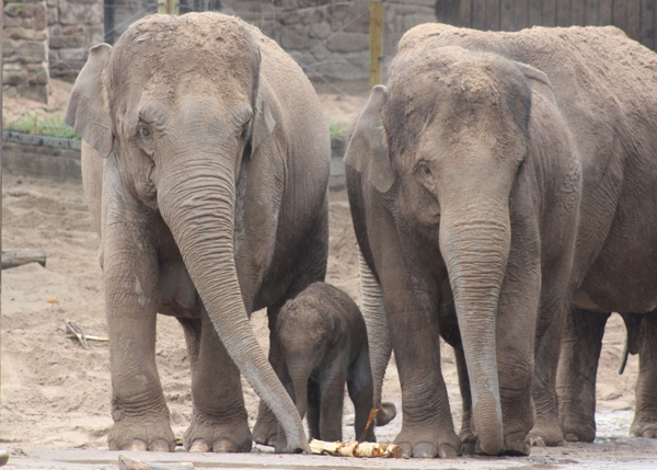 Asian elephant family at the Chester Zoo. Photo courtesy of: Maggie Esson.