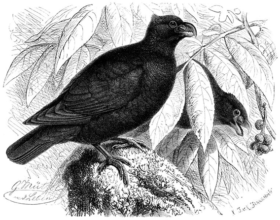 Black and white illustration of the little dodo or Manumea. Photo by: Gustav Mützel.