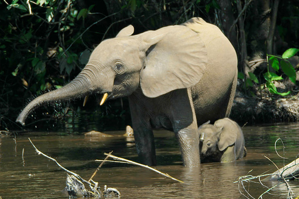 Elefanti delle foreste nel fiume Mbeli, Nouabalé-Ndoki National Park, Congo. Foto di: Thomas Breuer.