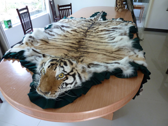 Tiger skin rug at Xiafeng Taxidermy. Photo by: EIA.