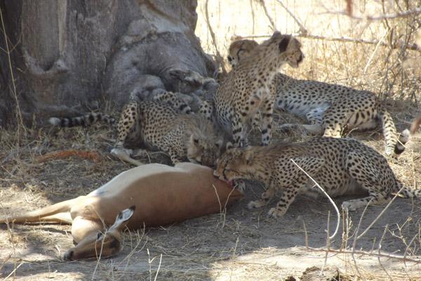 Una guepardo y sus tres cachorros, casi adultos, se dan un festín en un impala en el Parque Nacional de Ruaha. Photo by: Ruaha Carnivore Project.