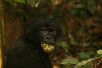 Seeds dispersed by forest elephants are too big to be swallowed by other animals such as this bonobo (Pan-paniscus) eating fruits of Parinari excelsa. With elephants vanishing to poachers, many species could lose out on important food sources Photo by: David Beaune.
