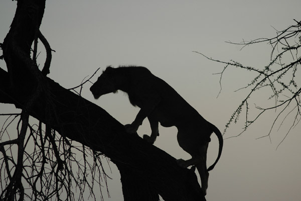 Lion silhouette in Samburu. Photo by: Ewaso Lions.