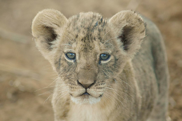 Lion cub. Photo by: Ewaso Lions.
