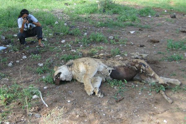 Investigating dead lion. Photo by: Ewaso Lions.